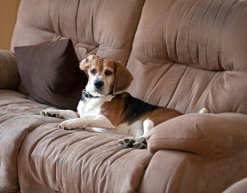 Beagle dog laying on the couch