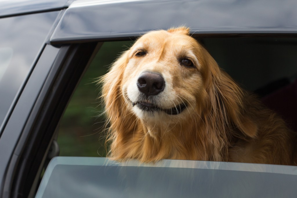 Dog Hanging out of car window