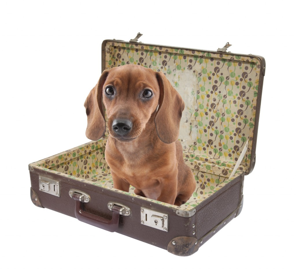 dachshund in suitcase